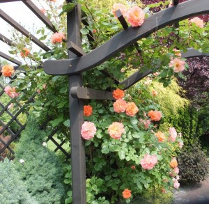 Pomarańczowa róża na pergoli