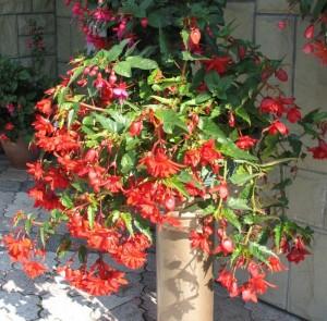 Begonia bulwiasta zwisająca