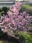 Magnolia Betty-pełnia kwitnienia