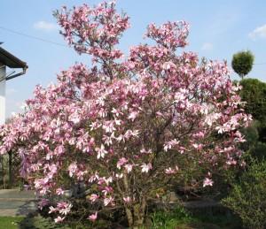 Najładniejsza magnolia-wiosna 2011