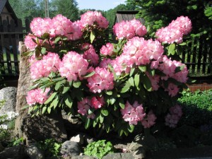 Rododendron jakuszmański wiosną