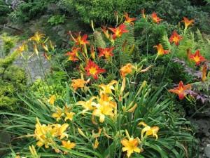 Liliowce w ogrodzie