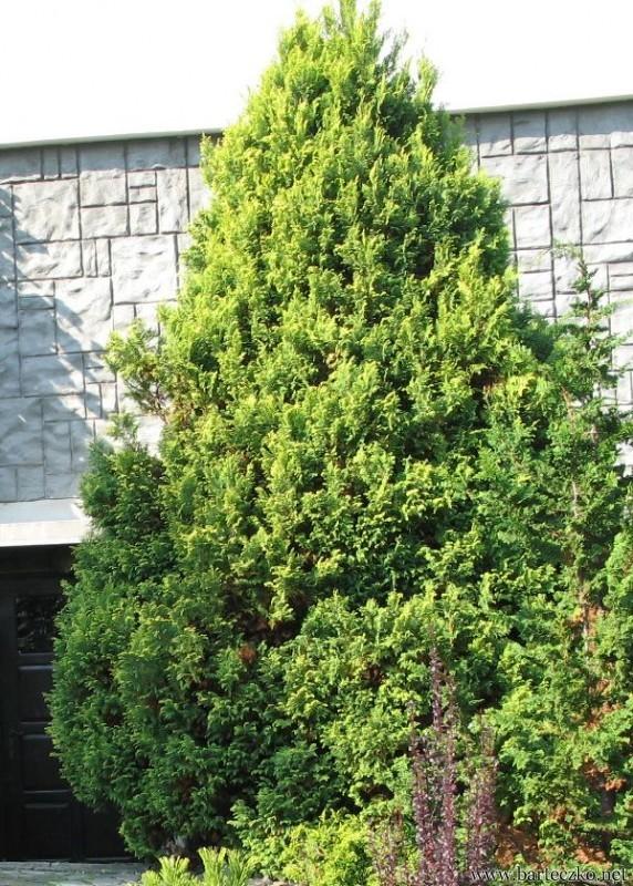 ywotnik olbrzymi thuja plicata aurescens jadwiga. Black Bedroom Furniture Sets. Home Design Ideas