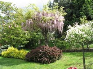 Piękna wisteria