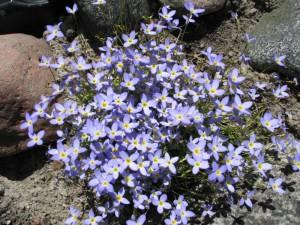 Houstonia błękitna (houstonia caerulea)