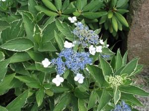 "Kwiaty hortensji ""Mariesii Variegata"""