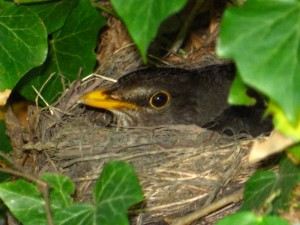 Samica kosa wysiaduje jajka