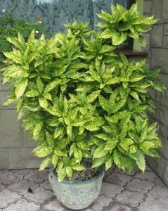 """Aukuba japońska """"Crotonifolia"""""""