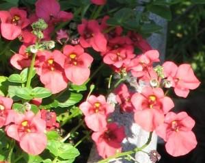 Diascia-kwiaty z bliska