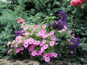 Petunia Million Bells (Calibrachoa)