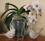 Phalaenopsis -motyli storczyk