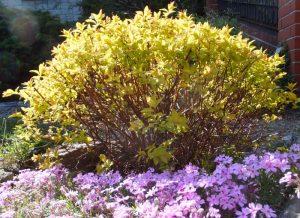 "Tawuła japońska (Spiraea japonica)""Golden Princess"""