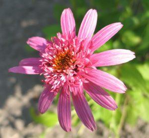 """Jeżówka (Echinacea purpurea) """"Pink Double Delight"""""""