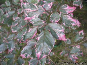 Buk pospolity Purpurea Tricolor-liście późną wiosną