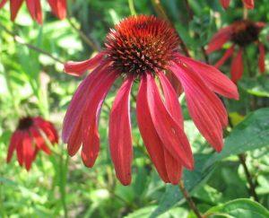 "Jeżówka purpurowa (Echinacea purpurea) ""Tomato Soup"""