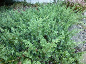 """Jałowiec nadbrzeżny (Juniperus conferta) """"Emerald Sea"""