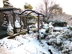 swierki-conica-zima